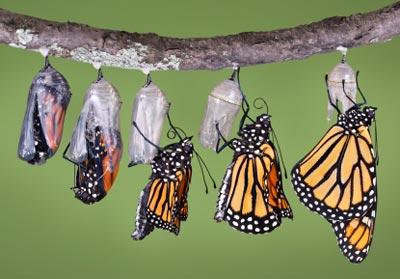metamosfose-monarca